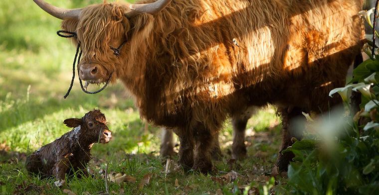 the biggest little farm cows